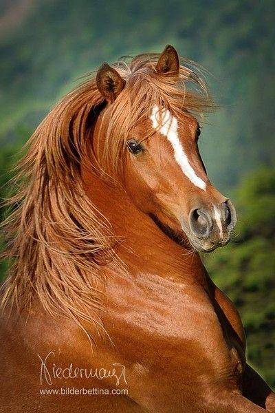 Chestnut arabian horses - photo#3