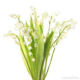 Lily of the Valley are widely used in bouquets and arrangements of wedding flowers. These stunning small and fragrant flowers stand only about 8 inches tall and are available year-round from flower farms in California! Lily of the Valley are frequently used in bouquets of wedding flowers for their dainty, beautiful  flowers and their heavenly smell. The Grower's Box (www.growersbox.com) is your one stop shop for wholesale flowers and wedding flowers.