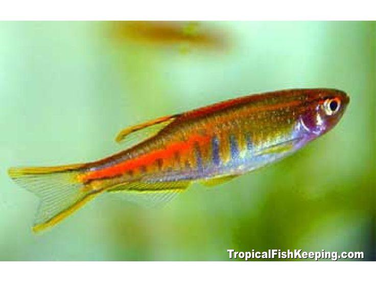 Glowlight Danio Fish Pinterest