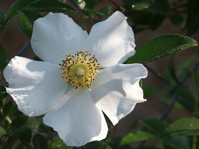 Cherokee Rose House And Home Pinterest