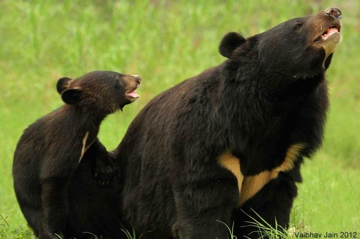 Asiatic Black Bears | Animal Moms and babies ♥ | Pinterest