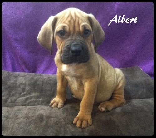 Bloodhound Boxer mix M 8 weeks named Albert in New Tazewell, TN ...