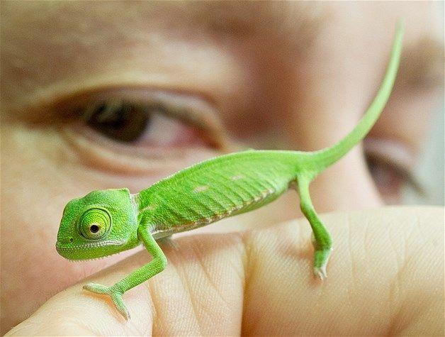 baby chameleon adorable a pinterest. Black Bedroom Furniture Sets. Home Design Ideas