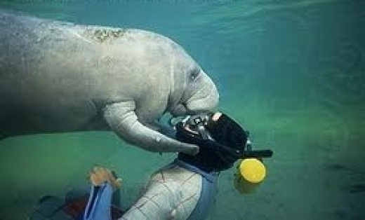manatee kiss! | From Sea to Shining Sea | Pinterest