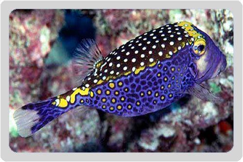 Boxfish ?kingdom of the sea? Pinterest