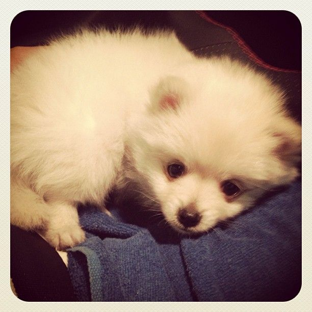 White teacup Pomeranian | animorphs :) | Pinterest