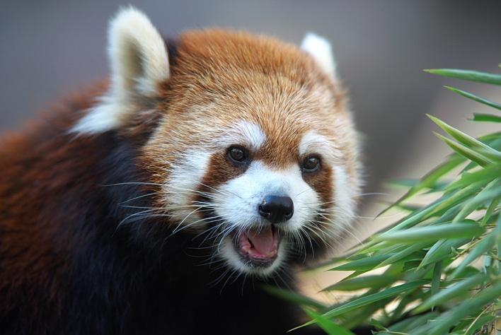 レッサーパンダの画像 p1_27