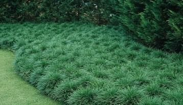 Mondo grass mass planting my sanctuary pinterest for Mass planting grasses