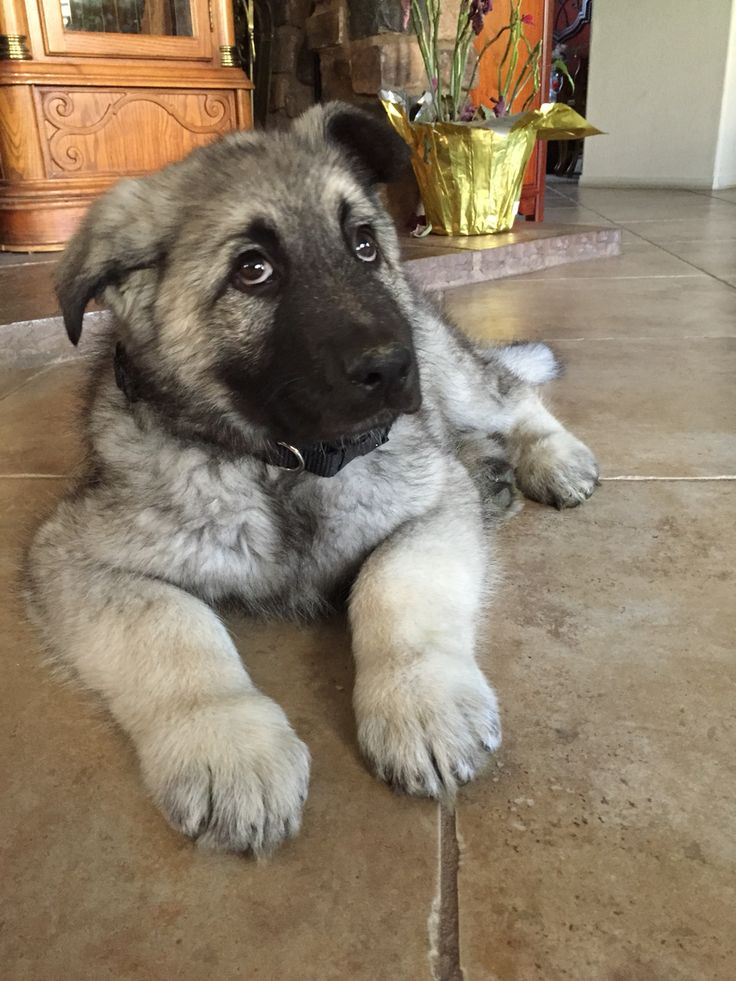 Silver sable german shepherd dog