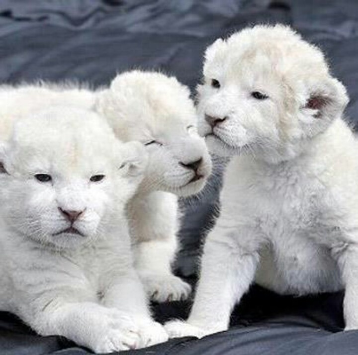 Baby white lion cubs | I need a farm. | Pinterest