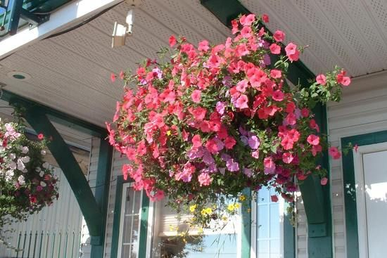 Best Hanging Basket Flowers For Hummingbirds : Pin by lynda thomas on house plants