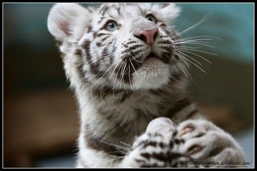white tiger holding baby - photo #24