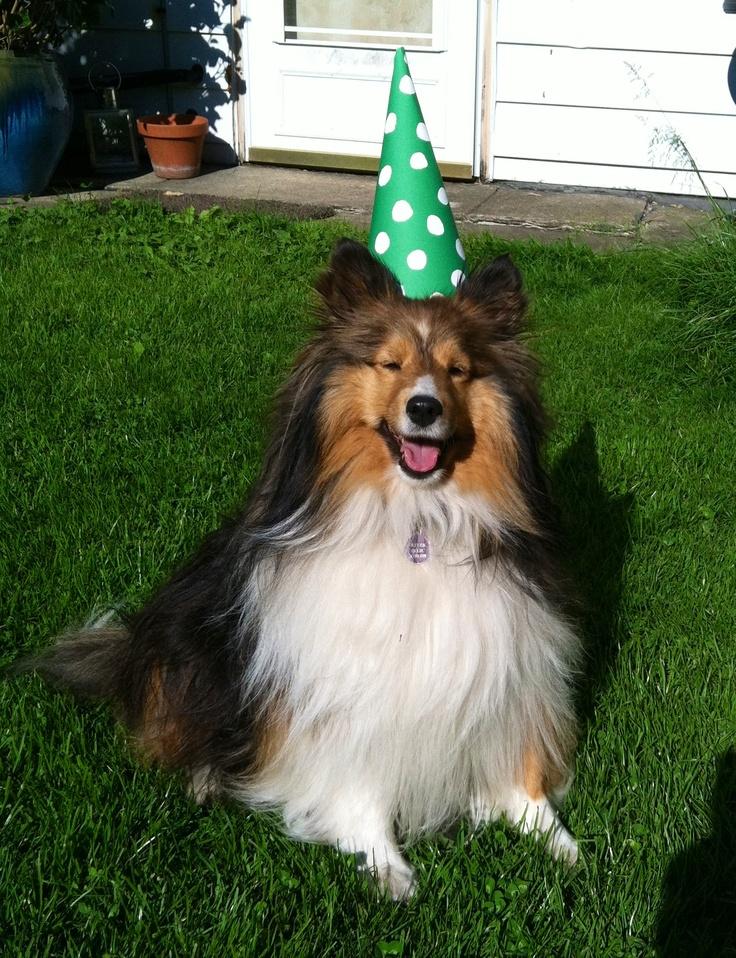 3rd birthday boy ollie sheltie sheltie sheltie pinterest
