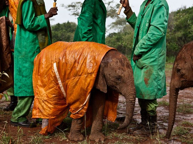 Baby Elephant and Keepers ::    by Michael Nichols     ::    Dedicated keepers at the David Sheldrick Wildlife Trust's Nairobi Elephant Nursery in Kenya protect baby Shukuru from the cold and rain, and the risk of pneumonia, with a custom-made raincoat.