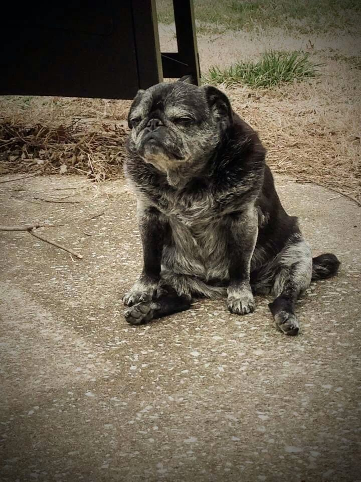 Old pug google search pete pinterest