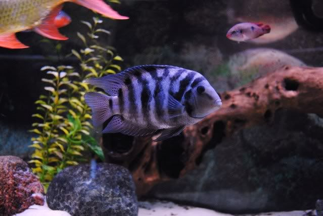 Freshwater Aquarium Rays also Doing Our Bit For The Oscars as well 339 Need Help On Settng Up New 150 Gallon Tank furthermore Oscar Fish Tank likewise Show. on oscar cichlid tankmates
