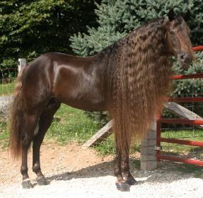 Rocky Mountain horse, love that mane!