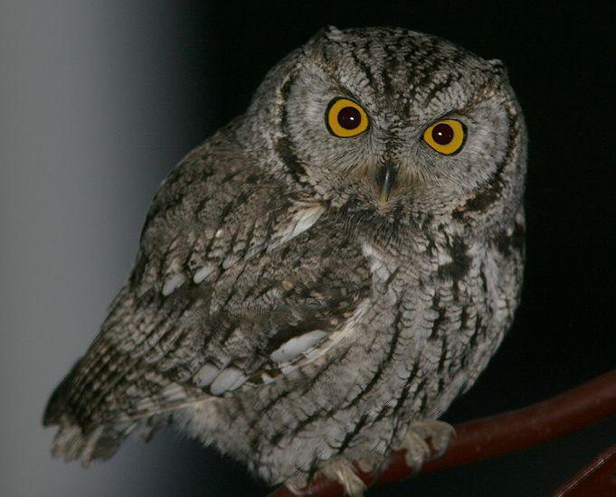 On lawn chair western screech owl brown amp grey morph megascops k