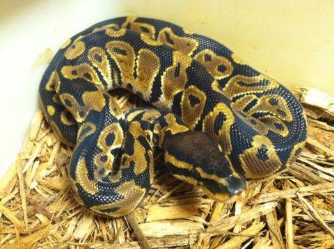 normal ball python. Black Bedroom Furniture Sets. Home Design Ideas
