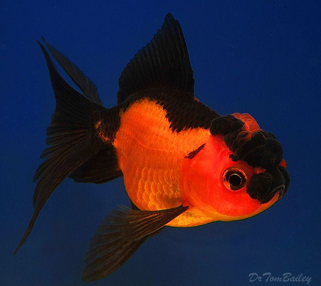 Pet fish talk new pet fish talk show koi and goldfish for Show me pictures of fish