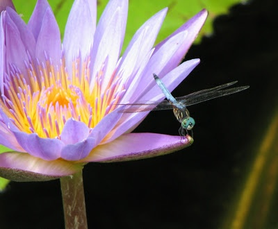 How to attract dragonflies to your garden
