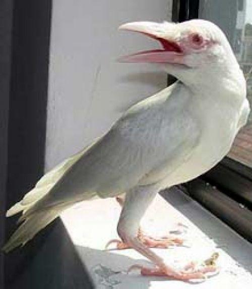 Albino crow - photo#8