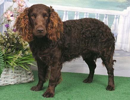 American Water Spaniel Puppy Dog | Water Spaniel | Pinterest American Water Spaniel Dogtime