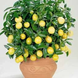 Citrus Limon Patio Fruit Tree Garden Stuff Pinterest