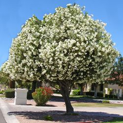 white oleander tree Wh...