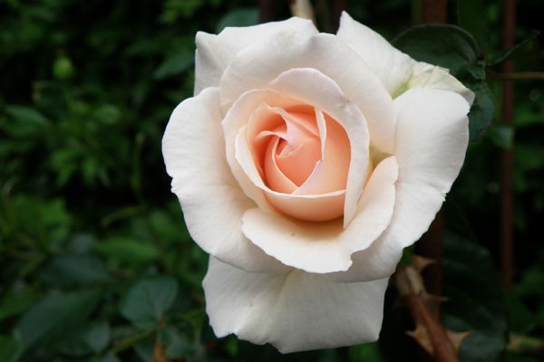 penny lane rose rainbow of roses pinterest. Black Bedroom Furniture Sets. Home Design Ideas