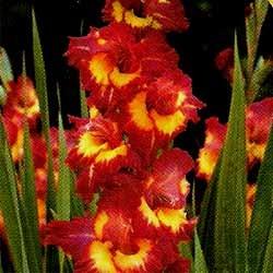 Growing Gladiolus~Wonderful Cutting Flowers