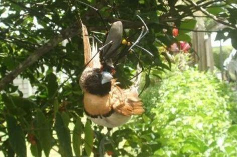 araña come pájaros
