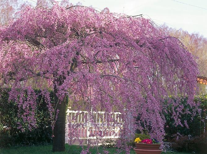 Arbre tree - Arbres de jardin ...
