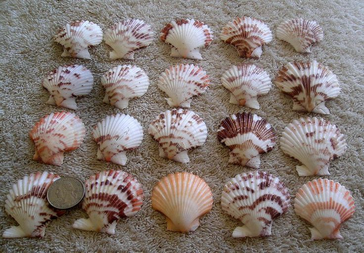 20 pectin scallop mix shells seashells crafts - Scallop shells for crafts ...