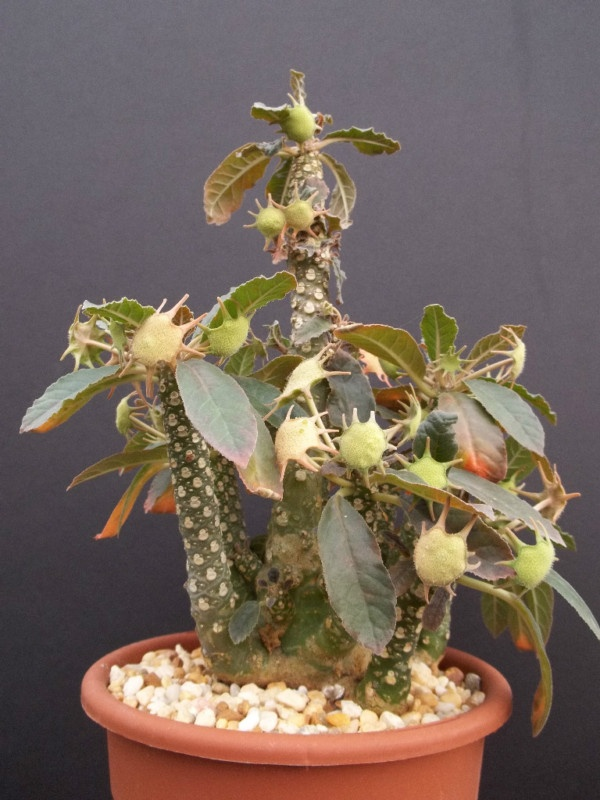 Dorstenia foetida Lavranos 20542