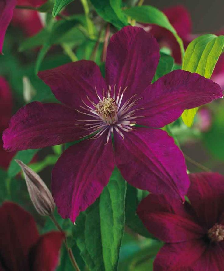 clematis 39 rouge cardinal 39 blooming vines pinterest. Black Bedroom Furniture Sets. Home Design Ideas