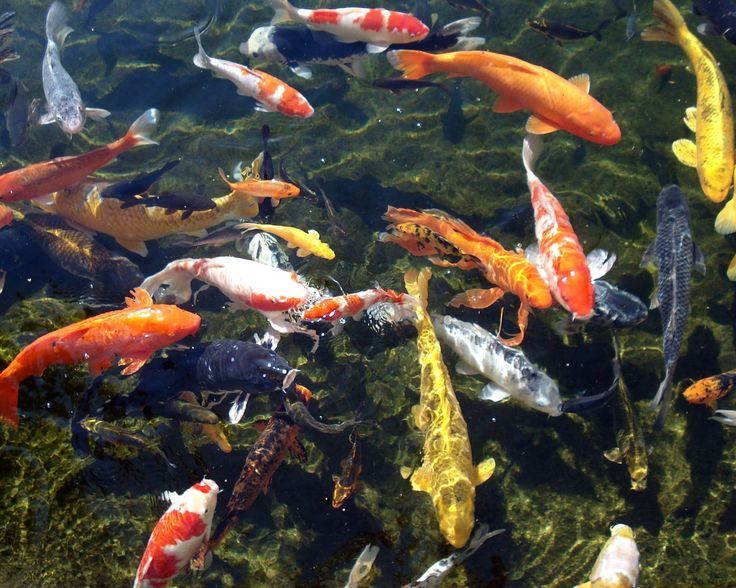 Koi fish pictures bing images water garden for Koi fish water