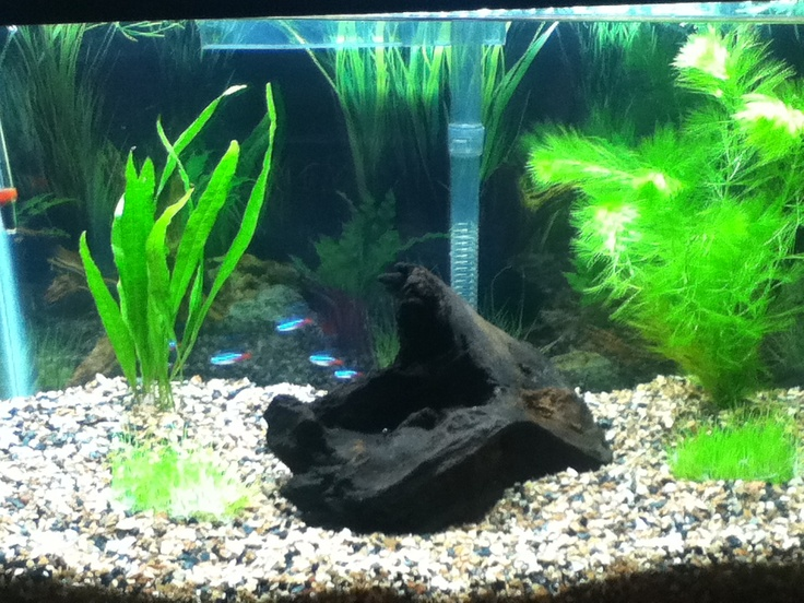 10 gallon fish tank neon tetras neon tetra 10 gallon for Neon fish tank
