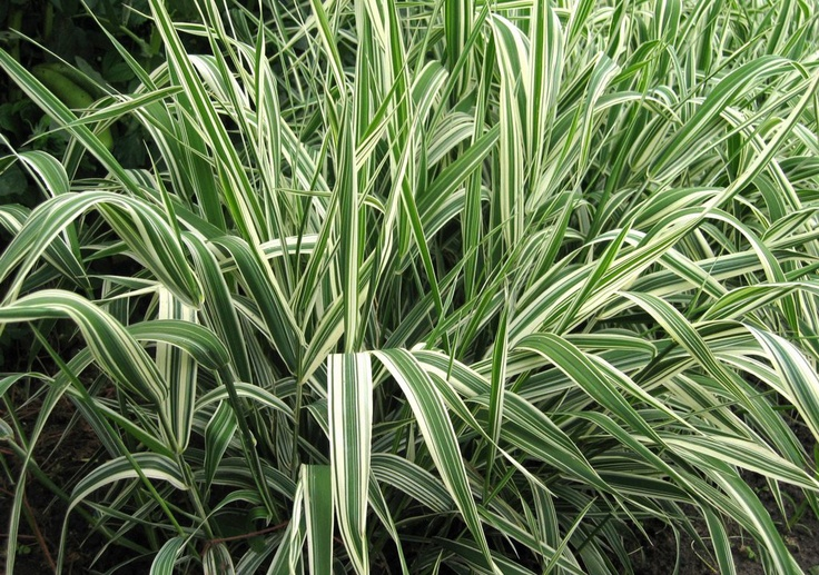 variegated ornamental grass plants flowers in my