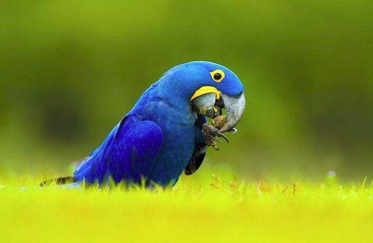 pin blue macaw bird - photo #12