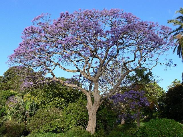 purple, Jacaranda Tree | Jacaranda Trees | Pinterest