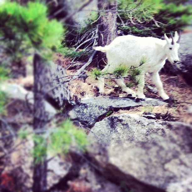 photo by erikverhage: Baby mountain goat on the side of the road.