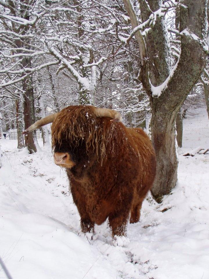 Highland cow | Winter Snow | Pinterest - photo#40
