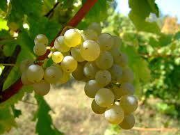 015 – La Albalonga es una uva blanca aromática procedente de...  (A) = Alemania  (B) = España  (C) = Francia