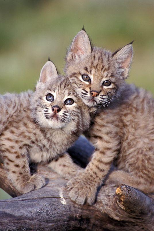Cute baby bobcat - photo#10