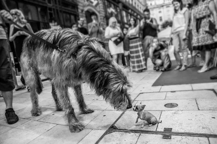 L'Irish Wolfhound 7bcdab2de18d0e98732dd38f387e4796
