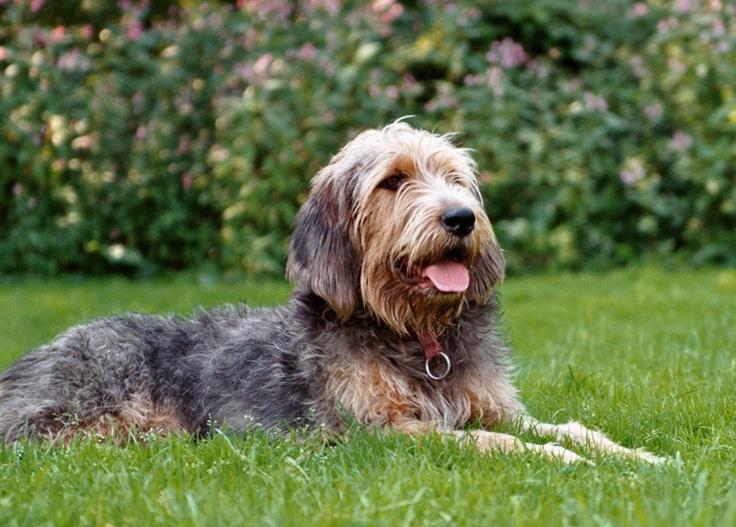 Otterhound   Canine   ...