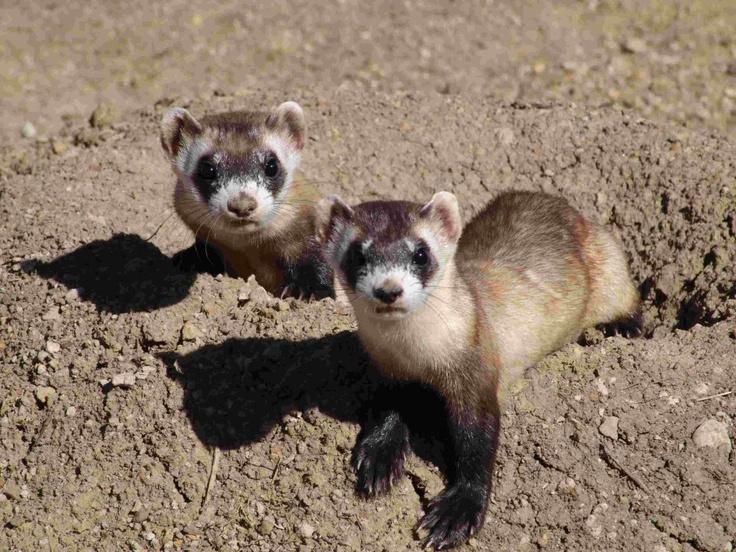 Black footed ferrets #ferrets | Black Footed Ferret ...