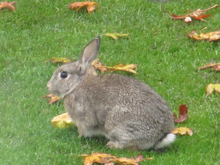Wild Backyard Rabbits : wild rabbit lives in our garden  Bunnies  Pinterest