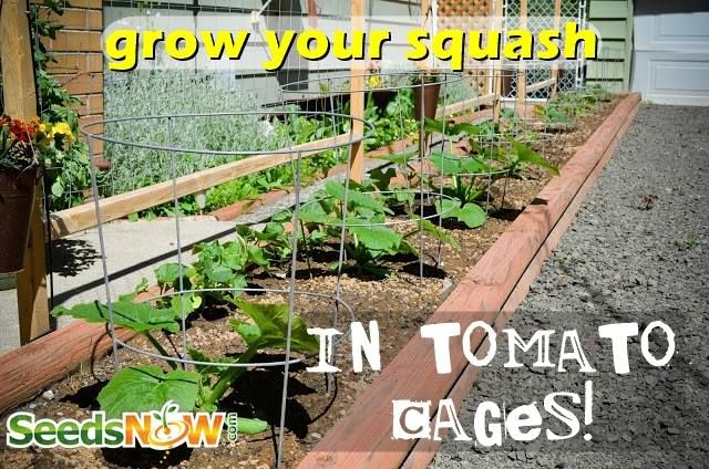 how to keep bugs off tomato plants in brisbane